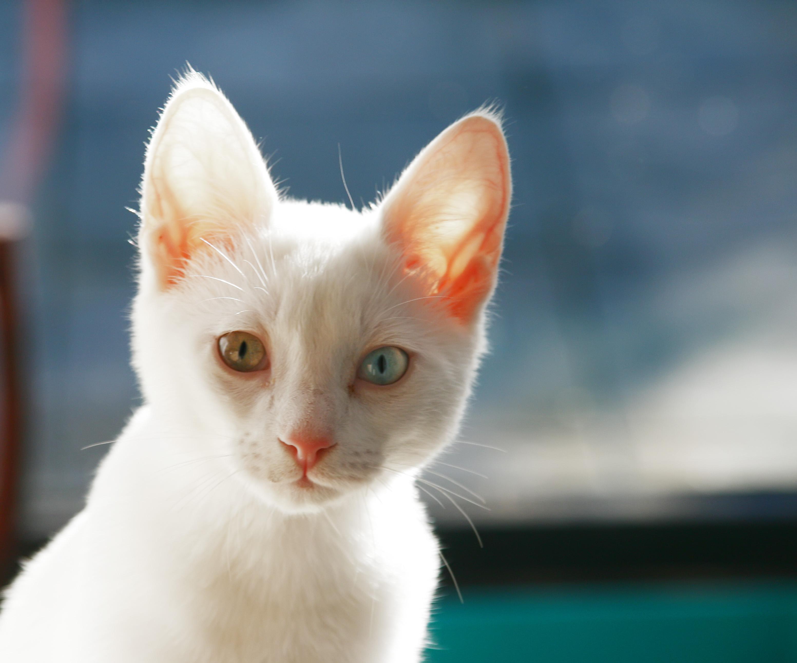 Бесплатная схема для вышивания крестиком: Белый кот.
